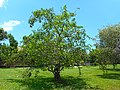 Annona glabra 04 - Tree.jpg
