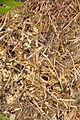 Ant nest near Venford Reservoir (4709).jpg