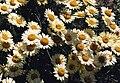 Anthemis tinctoria 'wargrawe'.jpg