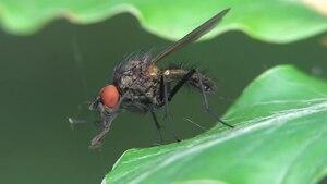 File:Anthomyiidae-2012-06-23.ogv