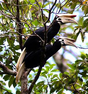 Palawan hornbill species of bird