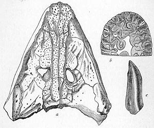 Anthracosaurus - Anthracosaurus russelli skull