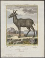 Antilope bubalis - 1700-1880 - Print - Iconographia Zoologica - Special Collections University of Amsterdam - UBA01 IZ21400119.tif