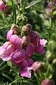 Antirrhinum majus Solstice Lavender 1zz.jpg