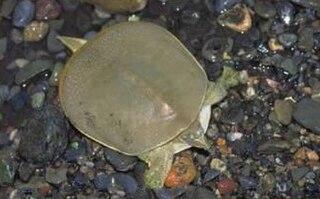 Cuatro Cienegas softshell subspecies of reptile