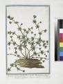 Aparine Supina, pumila, flore cæruleo. Rubia parva, flore cæruleo, se spargens (NYPL b14444147-1125008).tiff