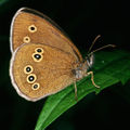 Aphantopus hyperantus.2562.jpg