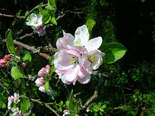 Apple blossom from an old Ayrshire variety.