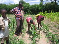 Applying urine to the maize plants using small dispensers (5568155364).jpg