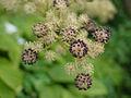 Aralia cordata, flower 02.jpg