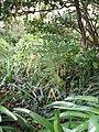 Araucaria heterophylla (Salisb.) Franco (AM AK306213-1).jpg