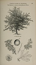 Arboretum et fruticetum britannicum, or - The trees and shrubs of Britain, native and foreign, hardy and half-hardy, pictorially and botanically delineated, and scientifically and popularly described (14781593304).jpg