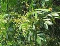 Archidendron bigeminum 34.jpg