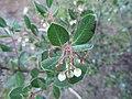 Arctostaphylos sensitiva. Santa Cruz County. - Flickr - theforestprimeval.jpg