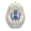 Areas of 3rd ventricle - 06.png