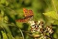 Argynnis paphia (35902845266).jpg