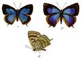 ArhopalaDodonaea 686 2 Fitch.png