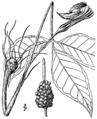 Arisaema triphyllum ssp. stewardsonii.png