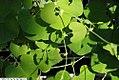 Aristolochia gibertii 3zz.jpg