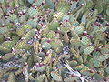 Arizona Cactus Garden 036.JPG