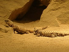 Armadillo girdle-tailed lizard.jpg