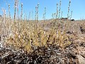 Artemisia arbuscula (28548803205).jpg