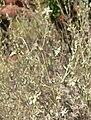 Artemisia bigelovii 4.jpg