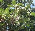 Artocarpus 0.jpg
