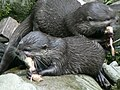 Asian Short Clawed Otters, National Seal Sanctuary, Gweek - geograph.org.uk - 219969.jpg