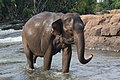 Asian elephant walking in Tad Lo river at golden hour, Bolaven Plateau, Laos.jpg
