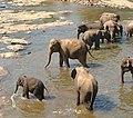 Asianelephants80.jpg