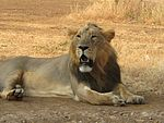 Asiatic Lion Gir Forest.jpg