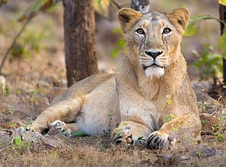 Asiatic lion - Lioness in Gir Forest