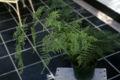 Asparagus plumosa WPC.jpg