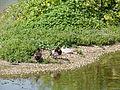 Assorted ducks (14357405266).jpg