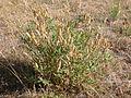 Astragalus eremiticus (3743040366).jpg