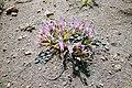 Astragalus paradoxus, Գազ տարօրինակ, Астрагал парадоксальный - panoramio.jpg