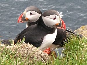 Atlantic Puffin at Látrabjarg, Iceland