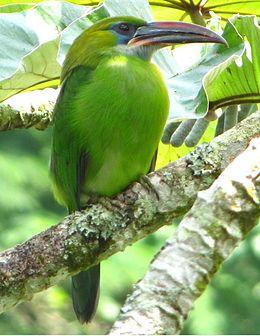 Aulacorhynchus sulcatus