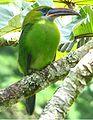 Aulacorhynchus sulcatus.jpg