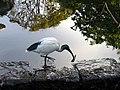 Australian White Ibis - The Royal Botanic Gardens - Sydney, Australia (9530987159).jpg