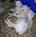 Australian White lambs.JPG