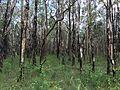 Australian bush at Noosa North Shore 2015.JPG
