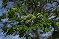 Austrieb Vogelbeere Sorbus aucuparia Eberesche 01.jpg