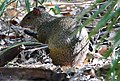 Azara's Agouti (Dasyprocta azarae) eating a fruit of Urucuri Palm (Attalea phalerata) (28349252200).jpg