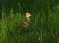 Baby Sandhill Crane - Flickr - Andrea Westmoreland (2).jpg