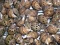 Babylonia japonica 03 at a fishmarket.JPG