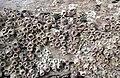 Balanus amphitrite (striped acorn barnacles) (Cayo Costa Island, Florida, USA) 2 (24385419245).jpg