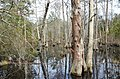 Bald Cypress Trail First Landing State Park-trees (32364286724).jpg