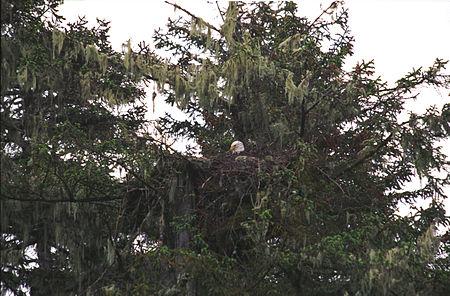 Bald Eagle04(js).jpg